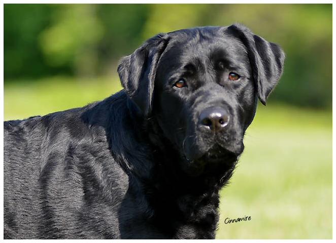Stormy C Labrador Retrievers New Jersey Labrador Retriever Breeder